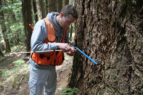 Bryan Black, a forestry researcher at Oregon State University, takes coring samples of a tree as part of studies on swiss needle cast, a serious epidemic in the Pacific Northwest Coast Range.