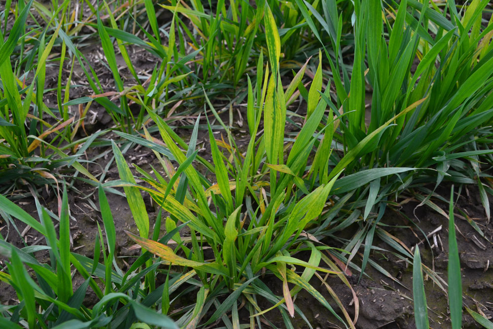 soil borne wheat mosaic virus