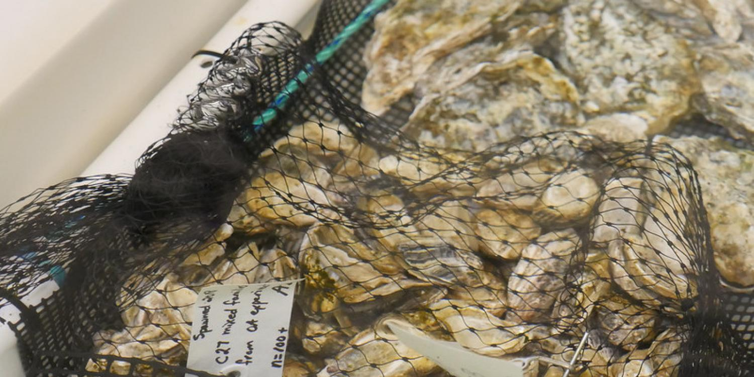 Oysters at the OSU Hatfield Marine Science Center in Newport.