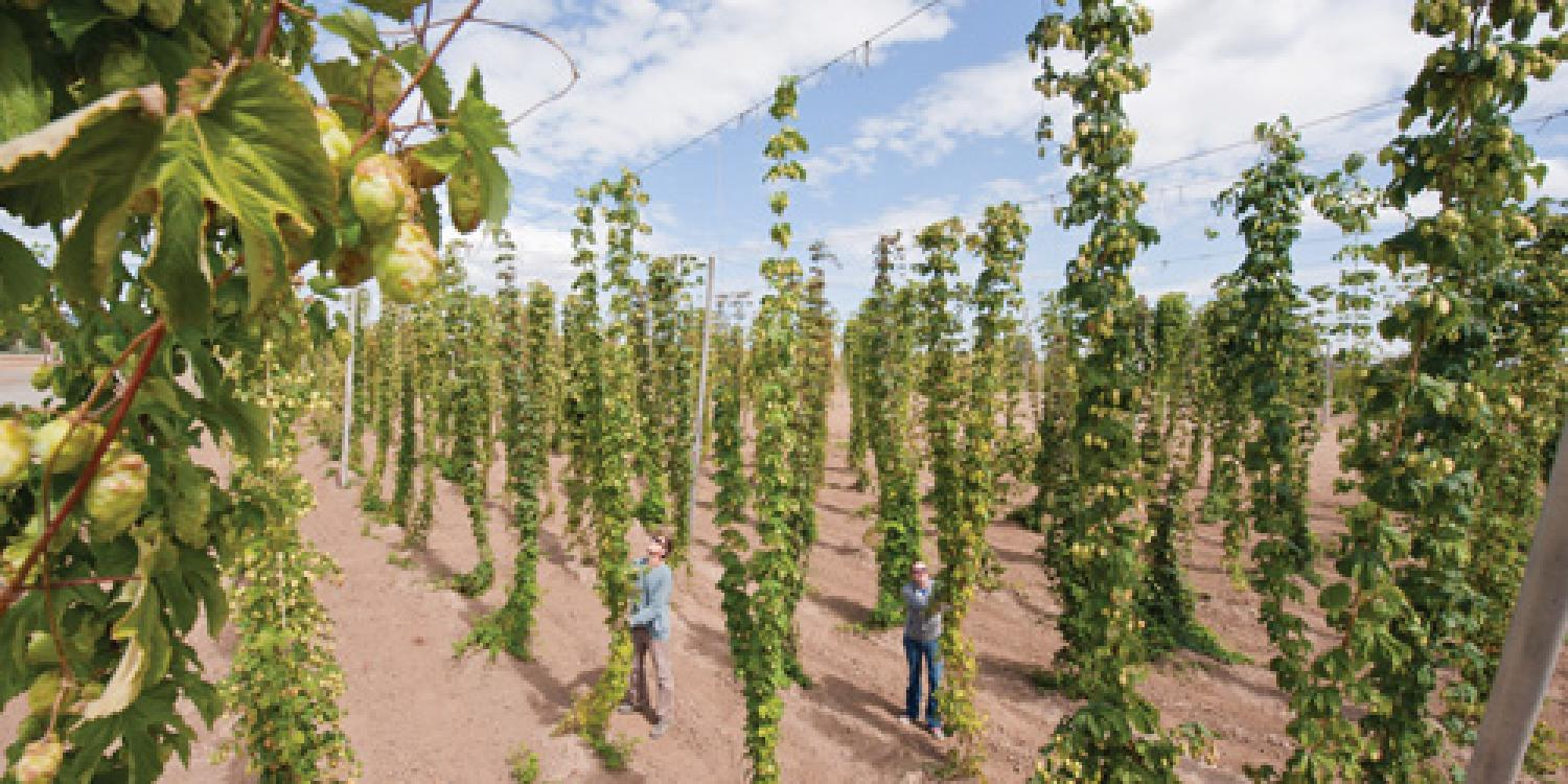 Osu Breeds New Hops For Craft Brewers The Statewides Our Impact