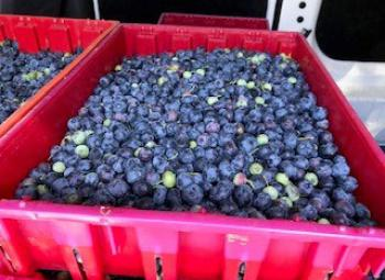 Over 120 flats of mechanically harvested blueberries from the North Willamette Research and Extension Center were delivered to area food banks in July 2020.