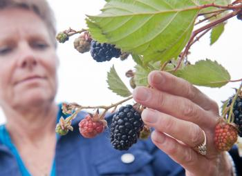 Bernadine Strik looks at raspberries grown at the North Willamette Research and Extension Center in Aurora.