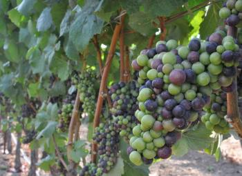 wine grapes in an Oregon vineyard